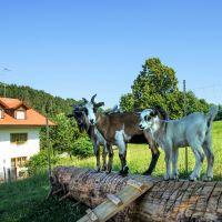schauberger-familienbauernhof-tiere-ziegen-ferienhaus